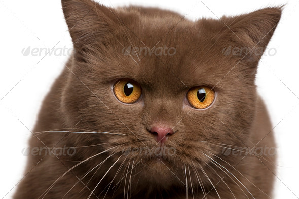 British shorthair cat, 11 months old, in front of white background - Stock Photo - Images