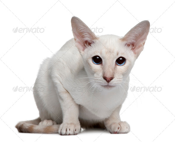 Siamese kitten, 5 months old, sitting in front of white background - Stock Photo - Images