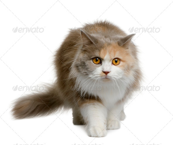British longhair cat, 11 months old, walking in front of white background - Stock Photo - Images