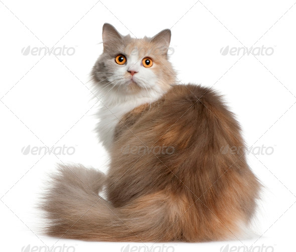 British longhair cat, 11 months old, sitting in front of white background - Stock Photo - Images