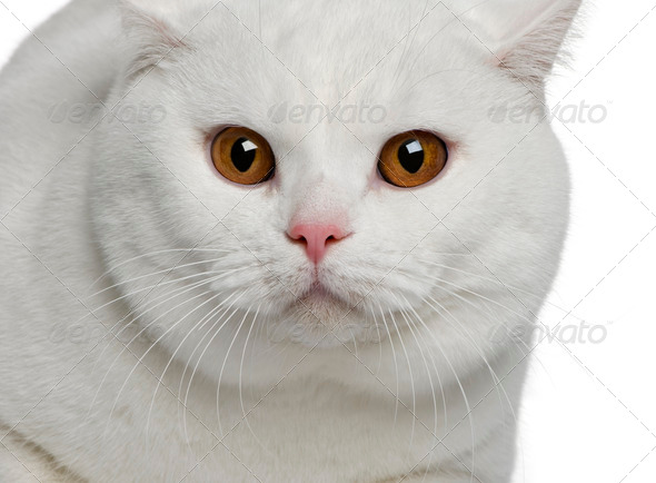 Close-up of British shorthair cat, 15 months old, in front of white background - Stock Photo - Images