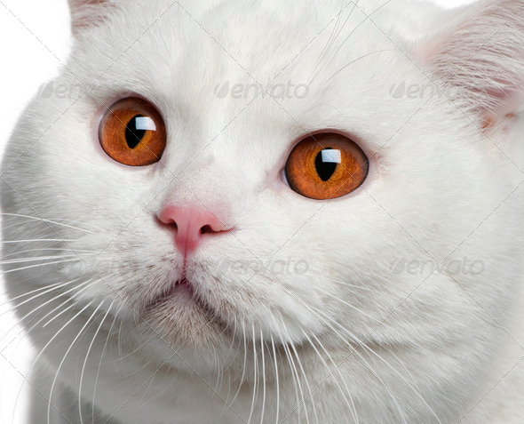 Close-up of British shorthair cat, 15 months old - Stock Photo - Images