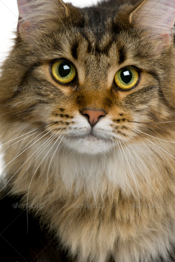 Close-up of Maine coon, 1 year old - Stock Photo - Images