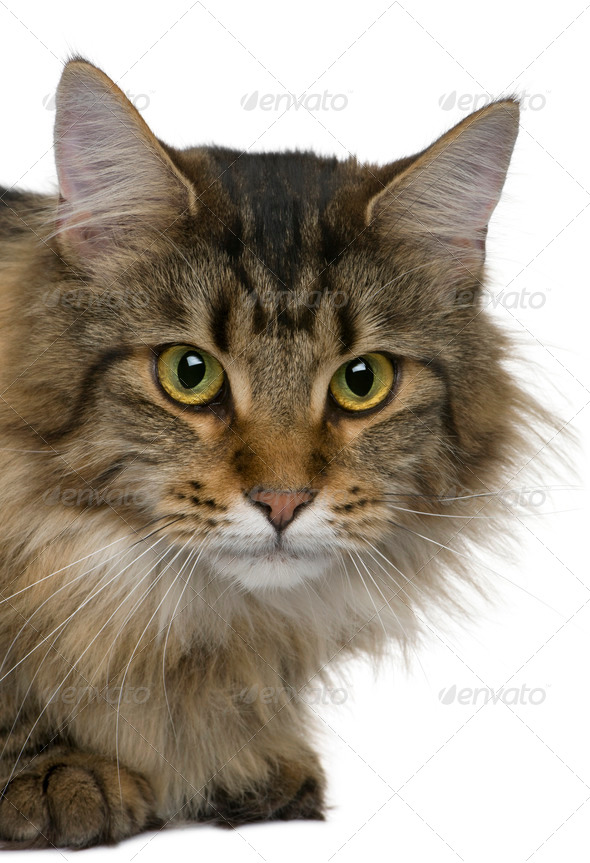 Maine coon, 1 year old,  in front of white background - Stock Photo - Images