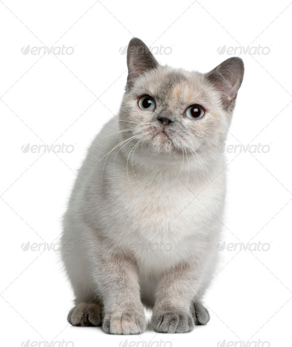 British shorthair cat, 8 months old, sitting in front of white background - Stock Photo - Images