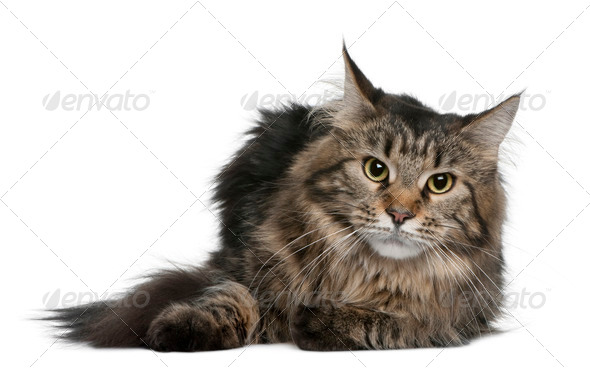 Maine coon, 1 year old, lying in front of white background - Stock Photo - Images