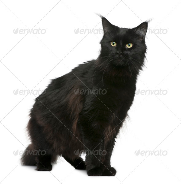 Maine coon, 3 years old, sitting in front of white background - Stock Photo - Images
