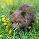 Cute little brown bear cub playing on a lawn among dandelions - PhotoDune Item for Sale
