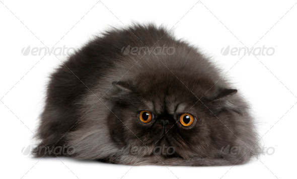 Persian cat, 19 months old, lying in front of white background - Stock Photo - Images