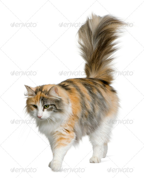 Norwegian Forest Cat, 3 years old, standing in front of white background - Stock Photo - Images