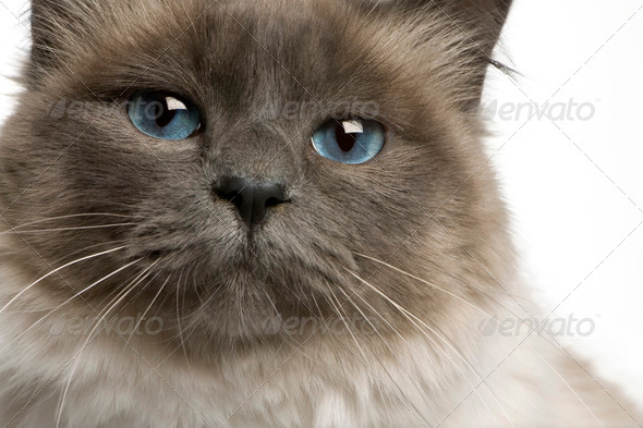 Close-up of Birman cat, 17 months old, in front of white background - Stock Photo - Images