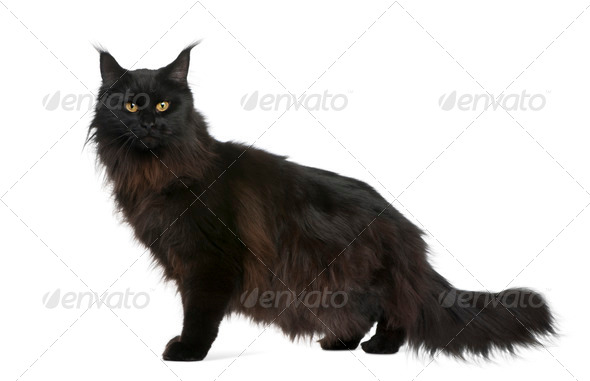 Maine coon, 21 months old, in front of white background - Stock Photo - Images