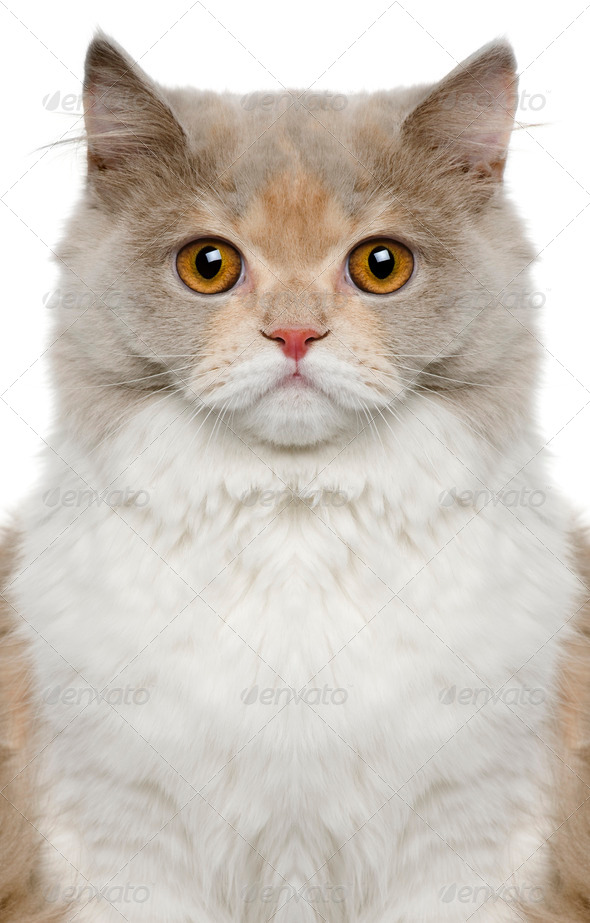 British longhair cat, 8 months old, in front of white background - Stock Photo - Images