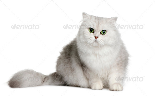 British longhair cat, 3 years old, sitting in front of white background - Stock Photo - Images