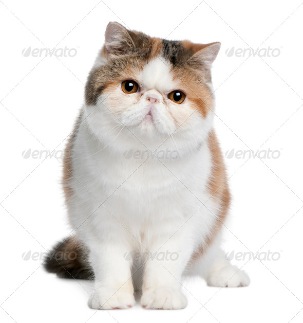 Exotic shorthair cat, 8 months old, sitting in front of white background - Stock Photo - Images