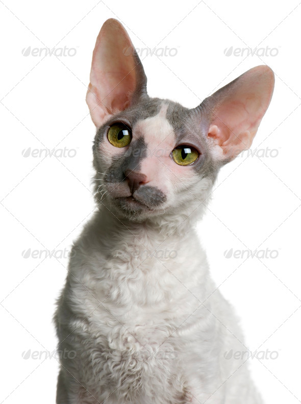 Cornish rex kitten, 4 months old, in front of white background - Stock Photo - Images