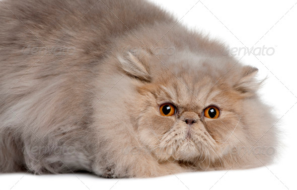 Persian cat, 11 months old, lying in front of white background - Stock Photo - Images