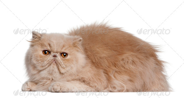 Persian cat, 2 years old, lying in front of white background - Stock Photo - Images