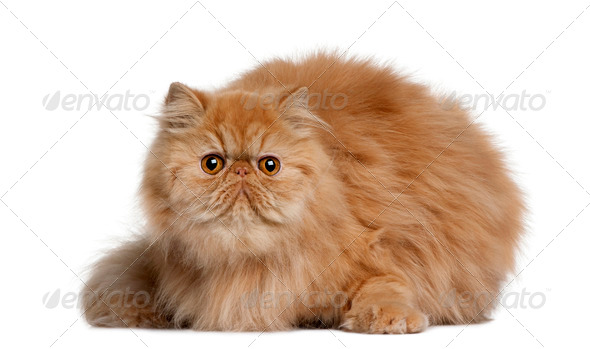 Persian cat, 2 years old, sitting in front of white background - Stock Photo - Images
