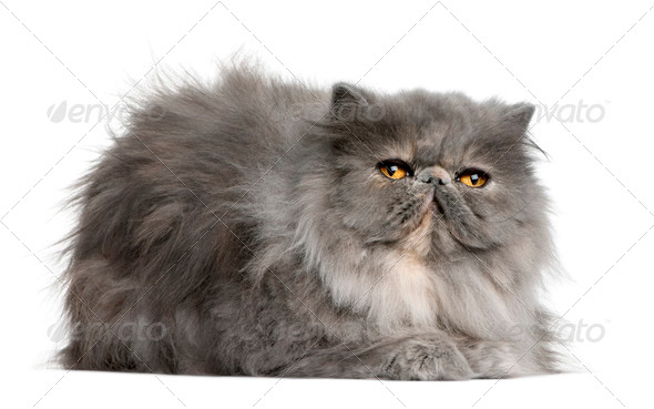 Persian cat, 8 months old, sitting in front of white background - Stock Photo - Images
