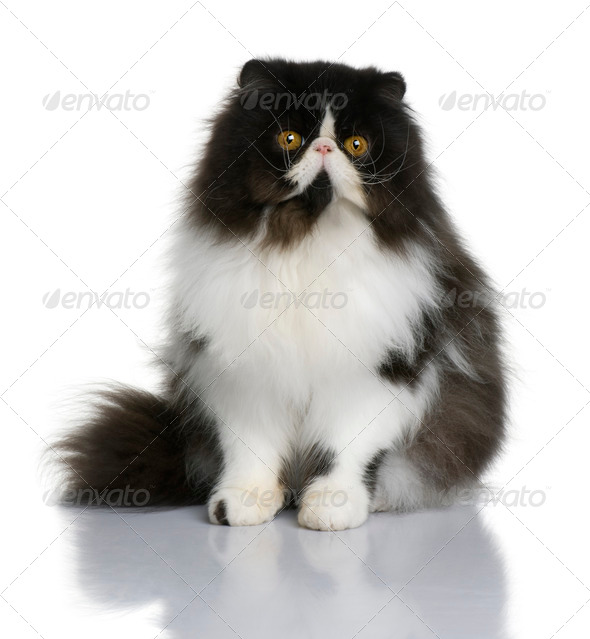 Persian cat, 9 months old, sitting in front of white background - Stock Photo - Images