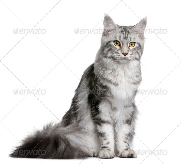 Maine coon, 1 year old, sitting in front of white background - Stock Photo - Images