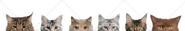 Maine coons, 1 year old, lined up in front of white background - Stock Photo - Images