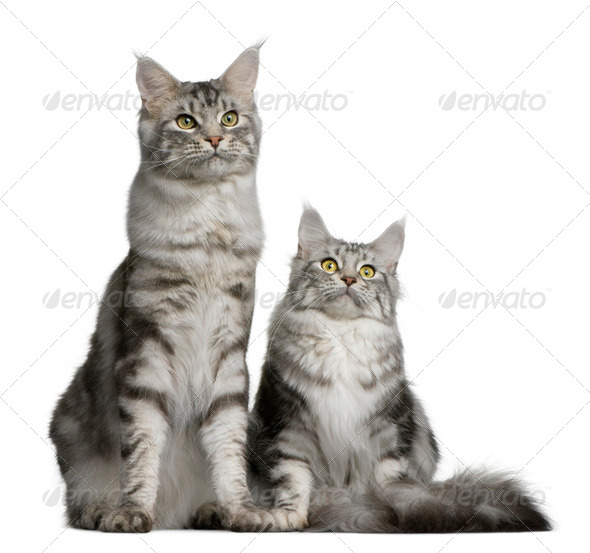Two Maine coons, 1 year old, sitting in front of white background - Stock Photo - Images