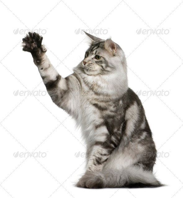 Maine Coon, 1 year old, sitting with one paw up in front of white background - Stock Photo - Images