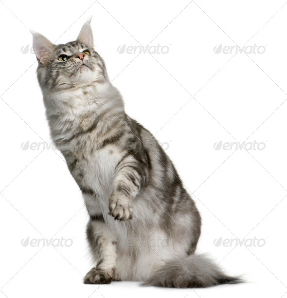 Maine Coon, 1 year old, sitting with one paw up and looking up in front of white background - Stock Photo - Images