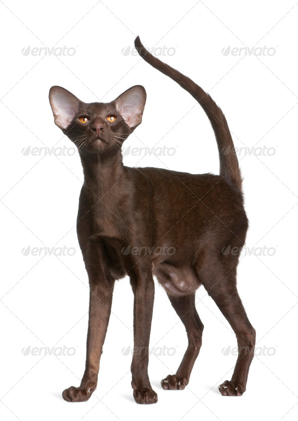 Oriental shorthair cat, 11 months old, standing in front of white background - Stock Photo - Images