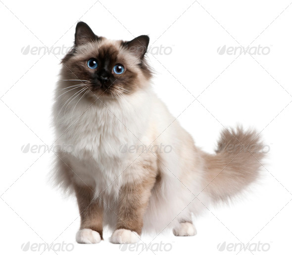 Birman cat, 11 months old, sitting in front of white background - Stock Photo - Images
