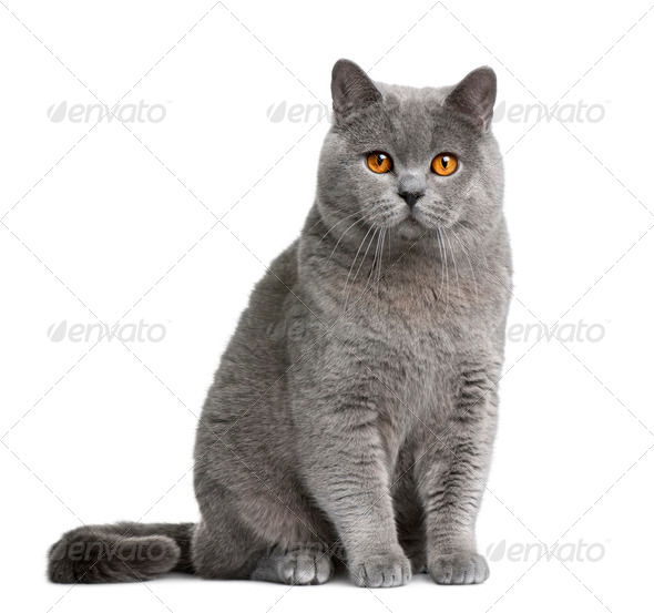 British shorthair cat, 12 months old, sitting in front of white background - Stock Photo - Images