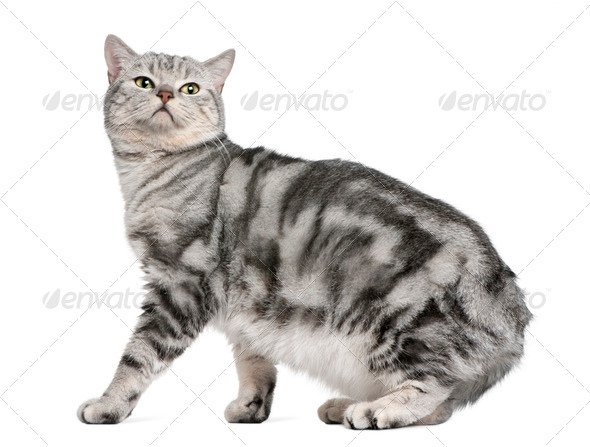 British shorthair cat, 15 months old, in front of white background - Stock Photo - Images