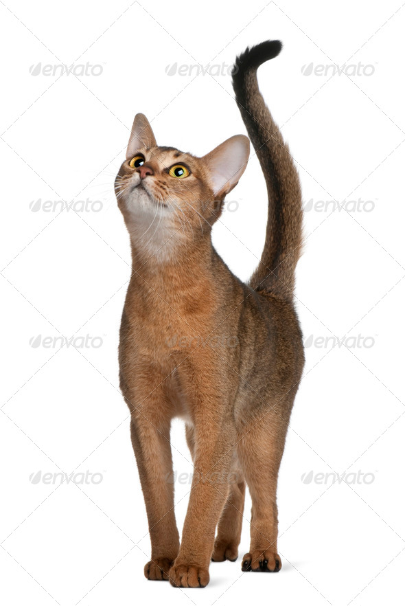 Abyssinian cat, 11 months old, standing and looking up in front of white background - Stock Photo - Images