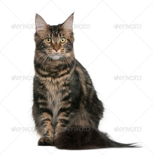 Maine coon, 9 months old, sitting in front of white background - Stock Photo - Images