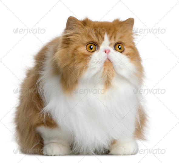 Persian cat, 10 months old, sitting in front of white background - Stock Photo - Images