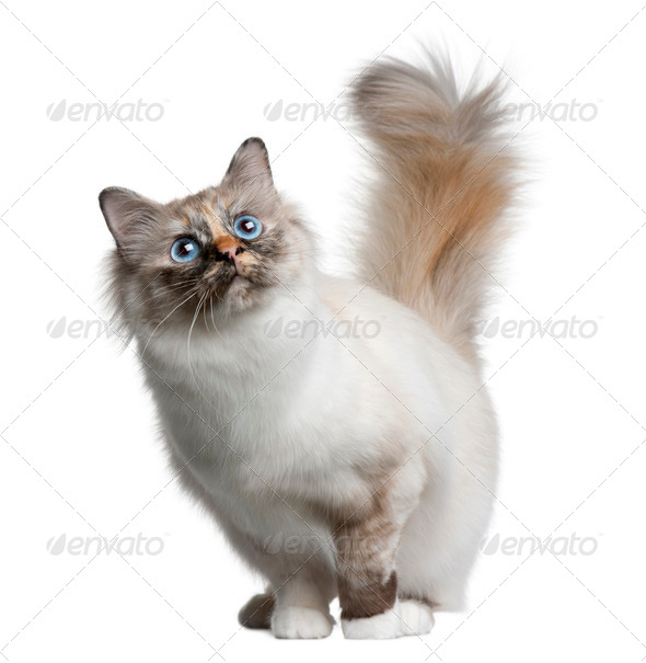 Birman cat, 11 months old, standing in front of white background - Stock Photo - Images