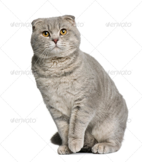 Scottish fold cat, 8 months old, sitting in front of white background - Stock Photo - Images