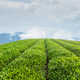 tea plantation in lushan - PhotoDune Item for Sale