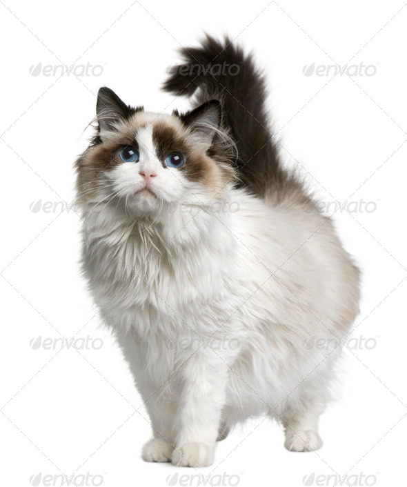 Ragdoll cat, 7 months old, standing in front of white background - Stock Photo - Images