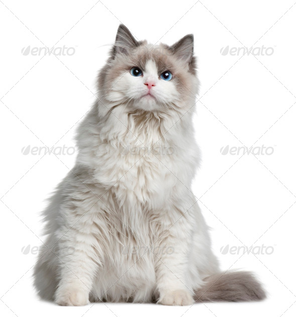 Ragdoll cat, 7 months old, sitting in front of white background - Stock Photo - Images