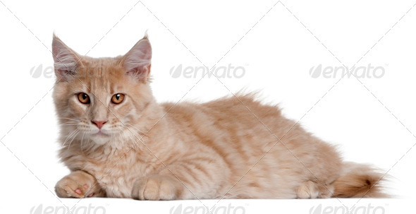 Maine coon kitten, 4 months old, lying in front of white background - Stock Photo - Images