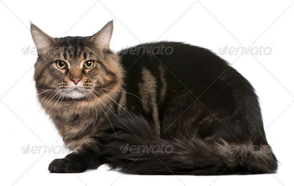 Maine coon, 20 months old, sitting in front of white background - Stock Photo - Images