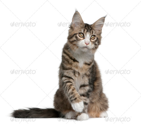 Maine coon kitten, 4 months old, sitting in front of white background - Stock Photo - Images