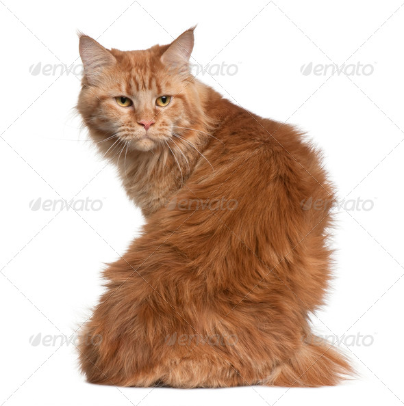 Maine coon, 15 months old, sitting in front of white background - Stock Photo - Images