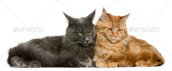 Two Maine coons, 15 months old, sitting in front of white background - Stock Photo - Images
