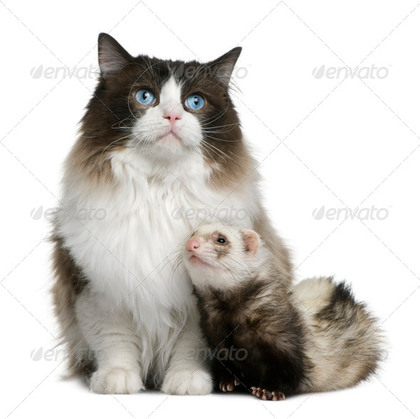 Ragdoll cat and a ferret sitting in front of white background - Stock Photo - Images