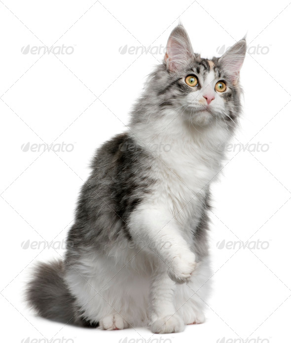Maine coon kitten, 7 months old, with one paw up sitting in front of white background - Stock Photo - Images