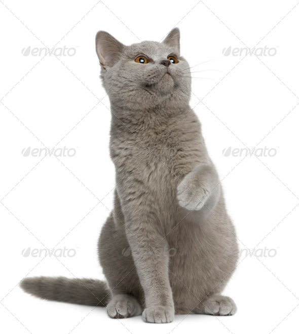 British shorthair cat, 7 months old, sitting in front of white background - Stock Photo - Images
